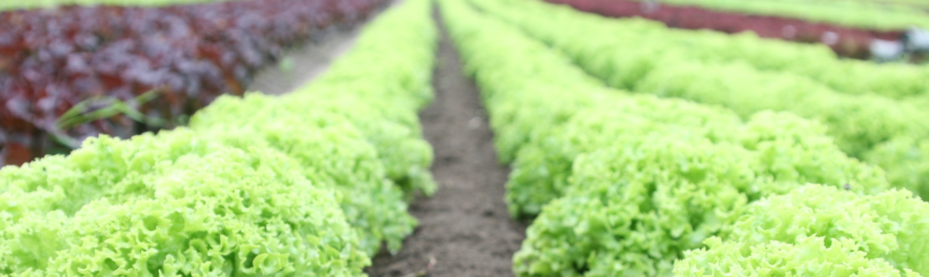 Farm rows of lettuce